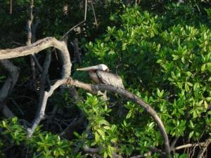 aruba_pelican